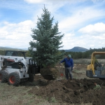 Landscaper Gardenhart Landscape & Design uses a skid steer and excavator to plant very large trees in Landscaping Projects in Durango Colorado.